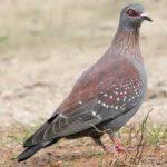 Wing Shooting Pigeon