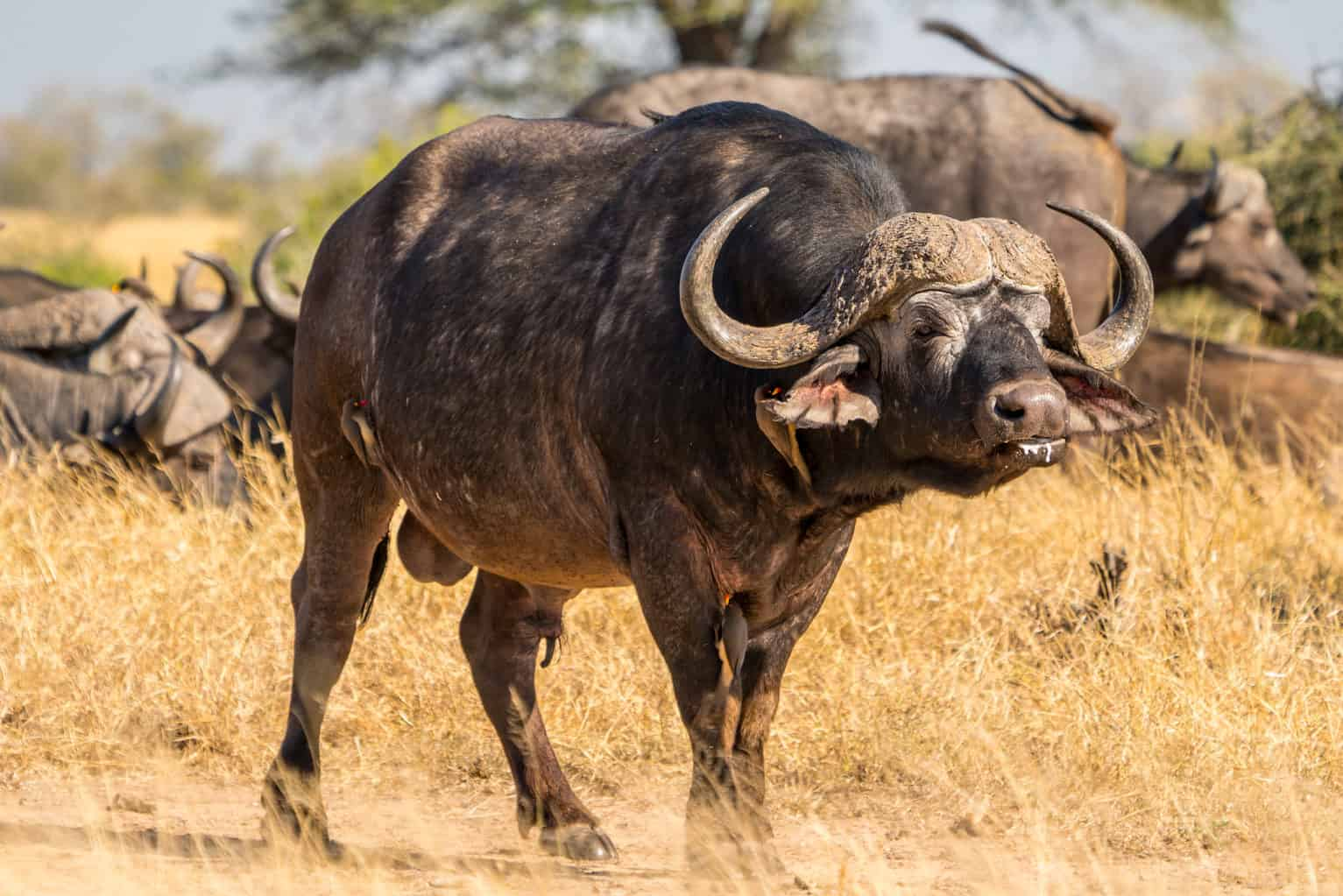 Hunt in South Africa Buffalo