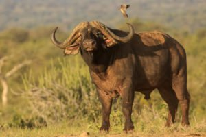 Big Five Hunt South Africa Cape Buffalo