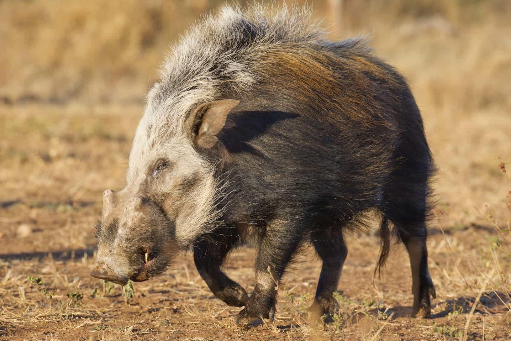 Hunt in South Africa Bushpig