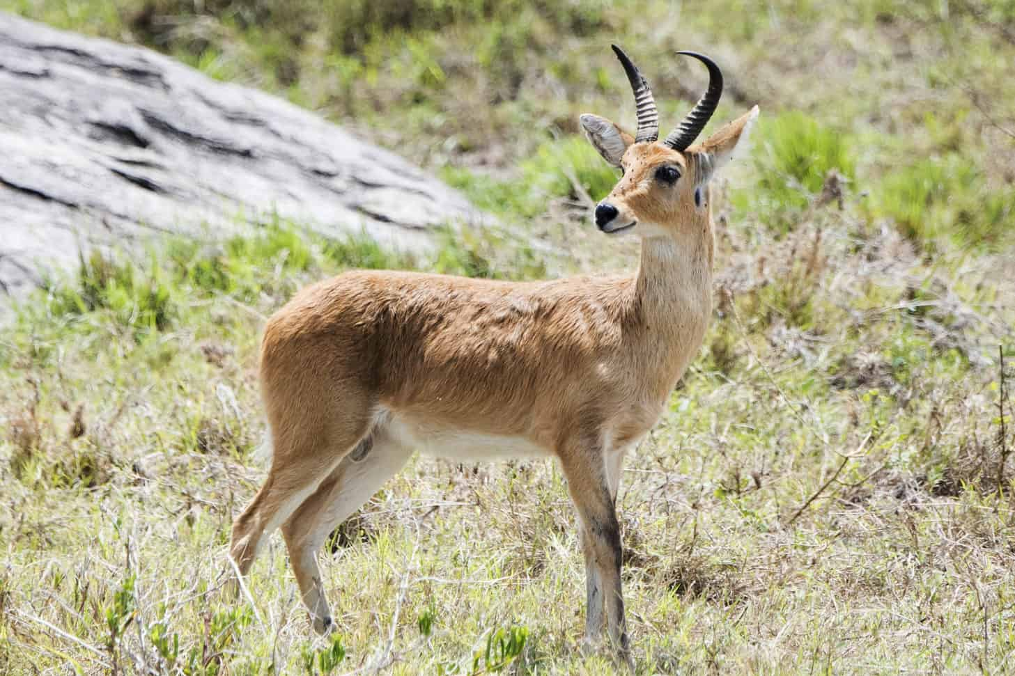 Hunt in South Africa Common Reedbuck