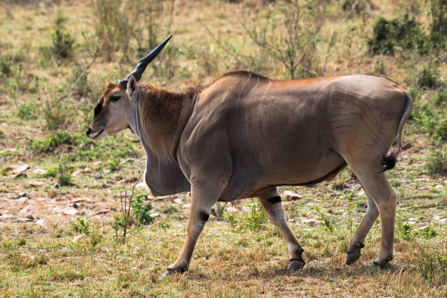 Hunt in South Africa Eland