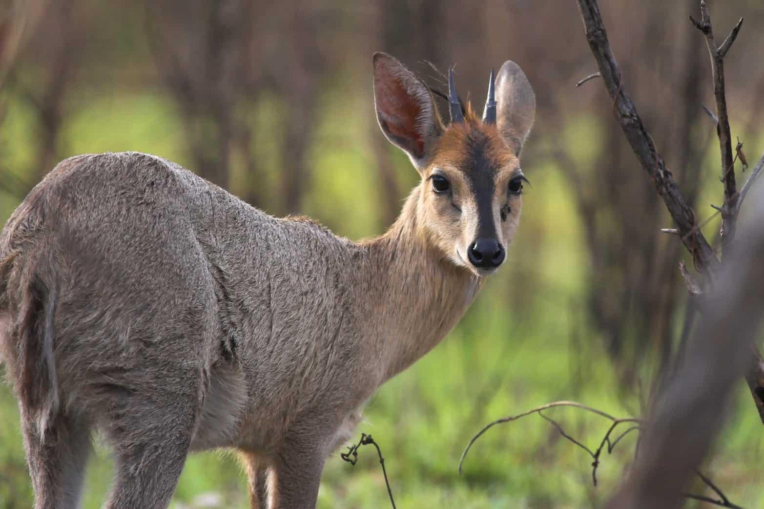 Hunt in South Africa Grey Duiker