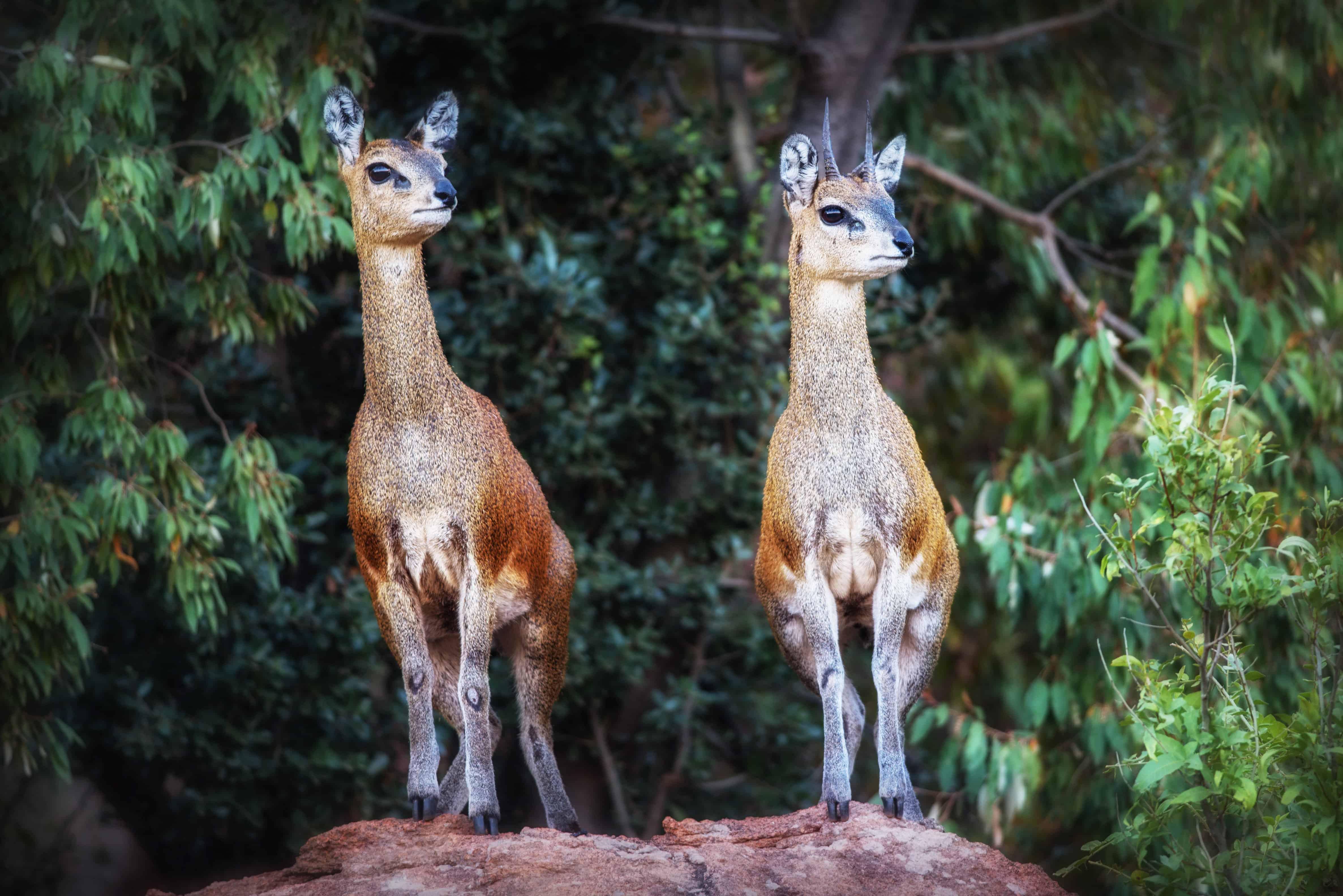 Hunt in South Africa Klipspringer