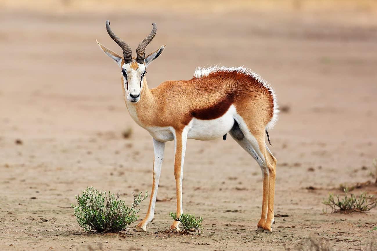 Hunt in South Africa Springbuck