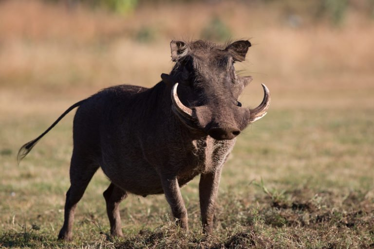 Package Hunts Warthog