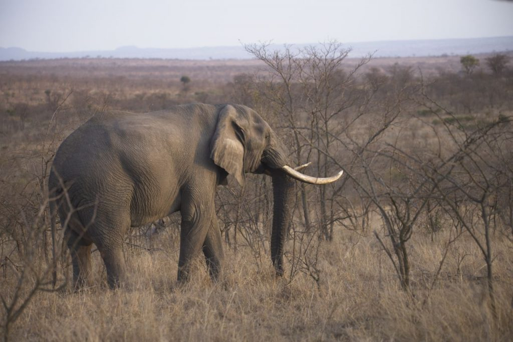 Hunting in South Africa Elephant
