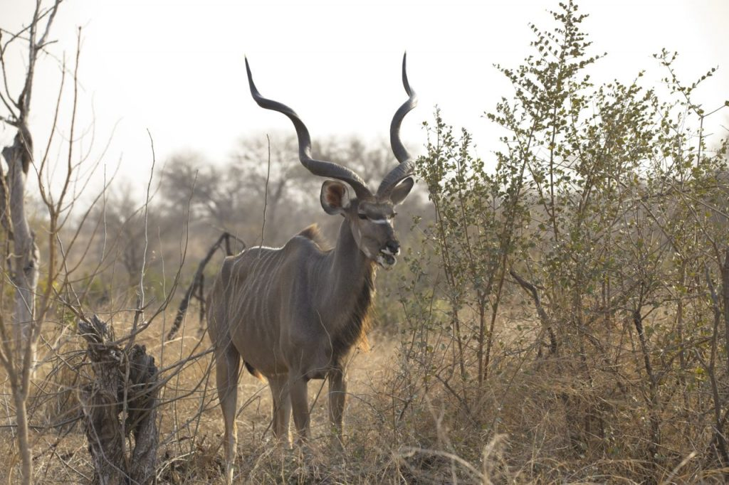 Hunt in South Africa Kudu