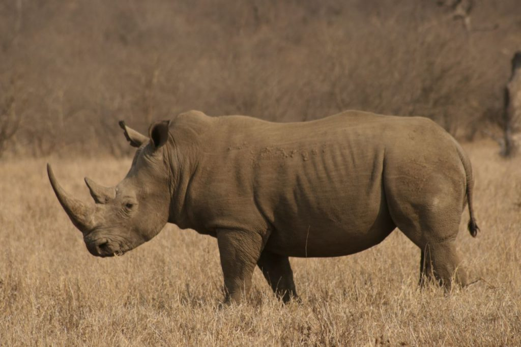 Hunting South Africa Rhino