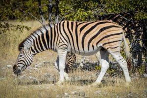 Package Hunts Zebra