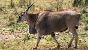 Hunt in South Africa Eland