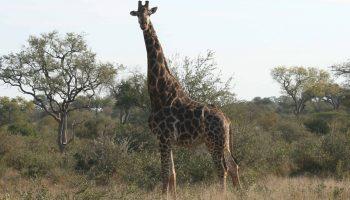 Hunt in South Africa Giraffe