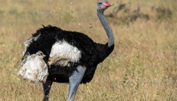 Hunt in South Africa Ostrich