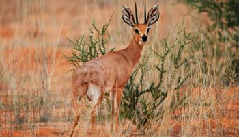 Hunt in South Africa Steenbuck